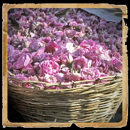 rosa-damascena-500x717